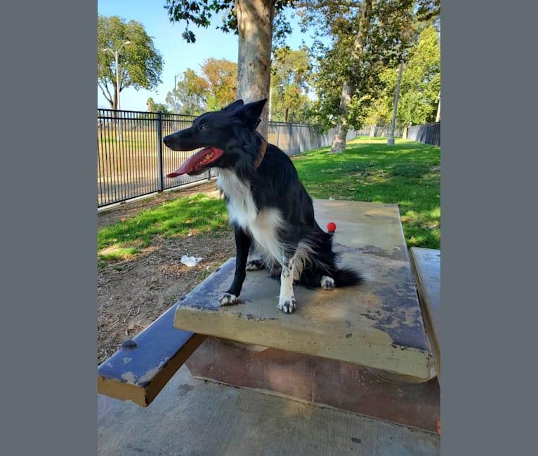 Photo of Max, a Border Collie  in Riverside, California, USA