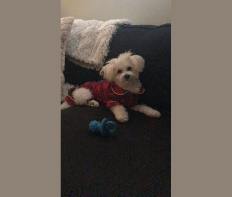 Photo of Rusty, a Pomeranian and Bichon Frise mix in Deer Park, New York, USA