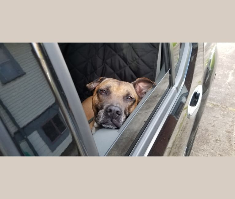 Photo of Zelda, an American Pit Bull Terrier, American Staffordshire Terrier, and Mixed mix in Hawaii, USA