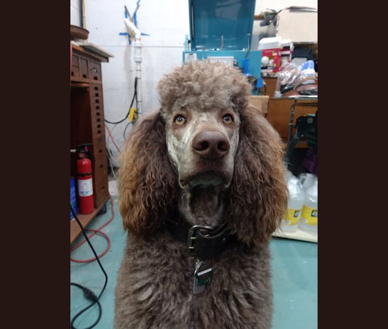 Photo of Hops, a Poodle (Standard)  in Bolivar, NY, USA