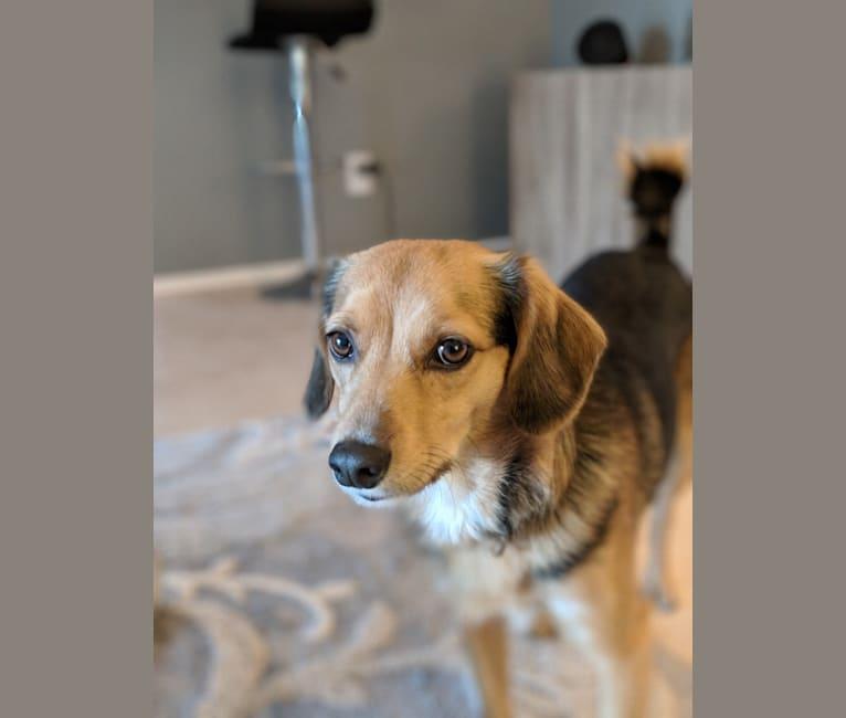 Photo of Beau, a Poodle (Small), Beagle, American Eskimo Dog, and Mixed mix in Sun Lakes, Arizona, USA