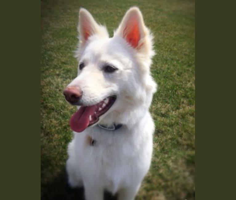 Photo of Kia, a German Shepherd Dog, Siberian Husky, Collie, Labrador Retriever, and Mixed mix in Minnesota, USA