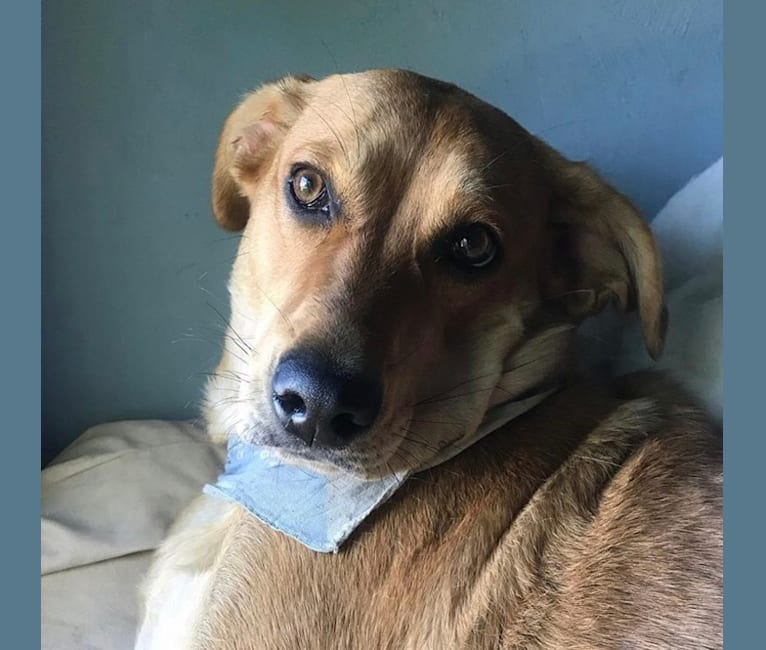 Photo of Molly, a Labrador Retriever, German Shepherd Dog, Australian Cattle Dog, Airedale Terrier, and Mixed mix in USA