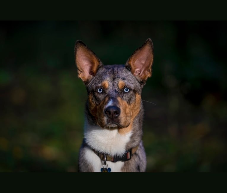 Photo of Huckleberry, an Australian Shepherd, Great Dane, German Shepherd Dog, and Mixed mix in Aztec, New Mexico, USA