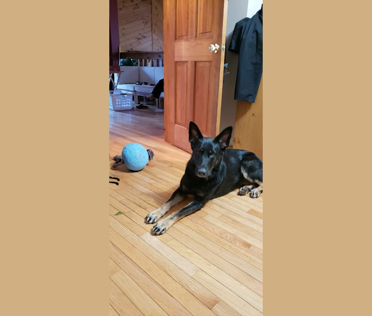 Photo of Carmen, a German Shepherd Dog  in Nashville, TN, USA