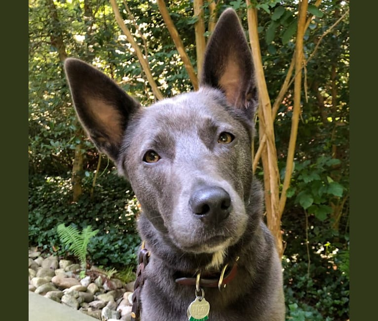 Photo of Olive, a German Shepherd Dog, Siberian Husky, and American Staffordshire Terrier mix in Bethesda, Maryland, USA