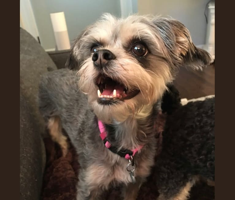 Photo of Ruby, a Bichon Frise and Brussels Griffon mix in St. Louis, Missouri, USA