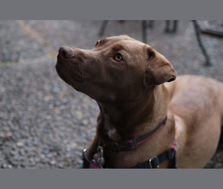 Photo of Bonnie, an American Pit Bull Terrier and Labrador Retriever mix in Texas, USA