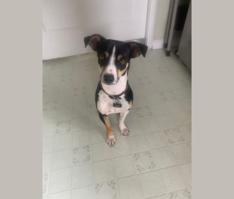 Photo of Dickie, a Chihuahua, Miniature Pinscher, American Pit Bull Terrier, and Mixed mix in Emeryville, California, USA
