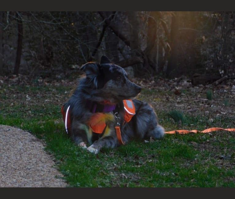 Photo of Dakota, an Australian Shepherd Group  in Cheboygan, MI, USA