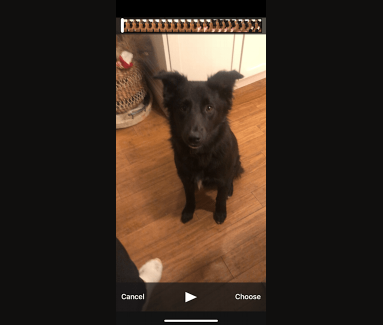 Photo of Kenny, a German Shepherd Dog, American Pit Bull Terrier, Mountain Cur, Labrador Retriever, Australian Cattle Dog, and Mixed mix in Waltham, Massachusetts, USA