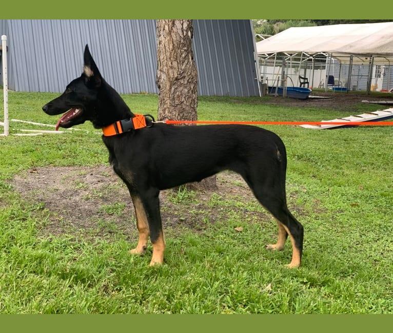 Photo of Etsy, a Dutch Shepherd  in Florida, USA