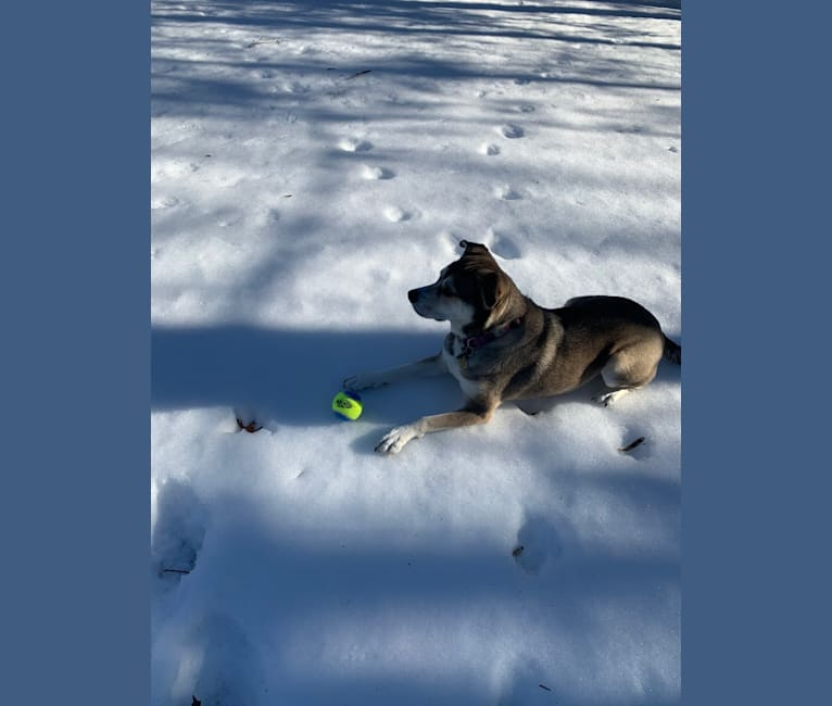 Photo of Penny, a Siberian Husky, American Pit Bull Terrier, Labrador Retriever, Chow Chow, American Staffordshire Terrier, and Mixed mix