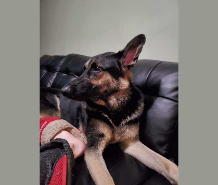 Photo of Zeus, a German Shepherd Dog  in Ohio, USA