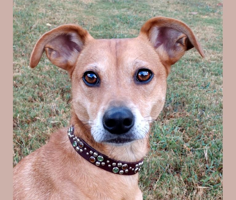 Photo of Bender, a Mountain Cur, Miniature Pinscher, and Mixed mix in Scottsboro, AL, USA