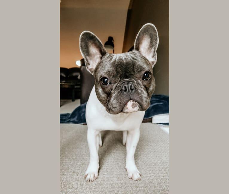 Photo of Duke, a French Bulldog  in Orangeville, ON, Canada