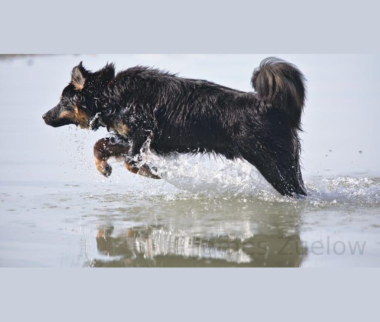 Photo of Scout, an Australian Shepherd, Great Pyrenees, Siberian Husky, and German Shepherd Dog mix in Klawock, Alaska, USA