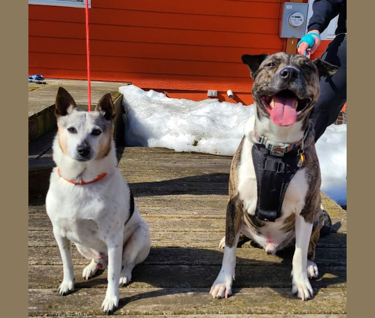 Photo of Latke, an American Pit Bull Terrier, Australian Cattle Dog, and Chinese Shar-Pei mix in Pearland, Texas, USA