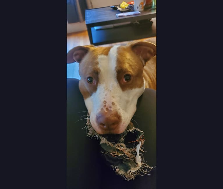 Photo of Moose, an American Pit Bull Terrier, American Bulldog, German Shepherd Dog, and American Staffordshire Terrier mix in Detroit, Michigan, USA