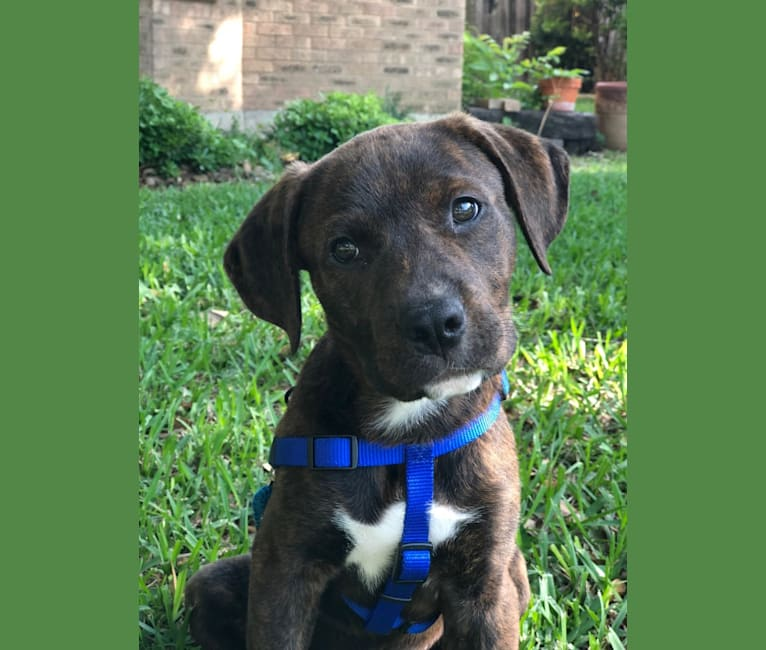 Photo of Walter, an American Pit Bull Terrier, Rottweiler, Treeing Walker Coonhound, and American Staffordshire Terrier mix in Dallas, Texas, USA