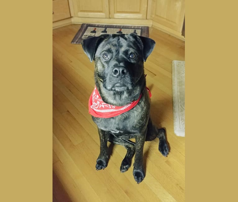 Photo of Whiskey Biscuit, a Chow Chow, Boxer, American Pit Bull Terrier, and Labrador Retriever mix in Durham, North Carolina, USA