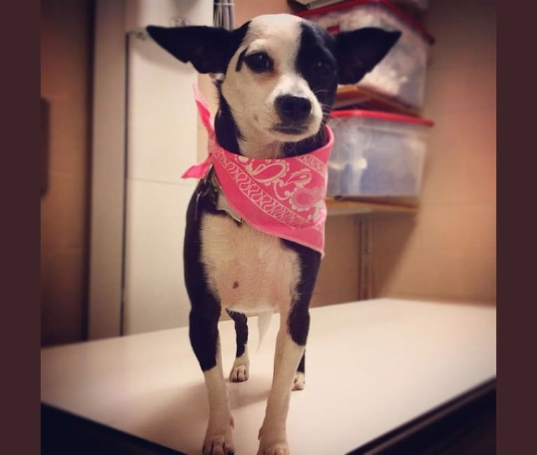 Photo of Calliope, a Chihuahua, Poodle (Small), and Mixed mix in San Diego, California, USA