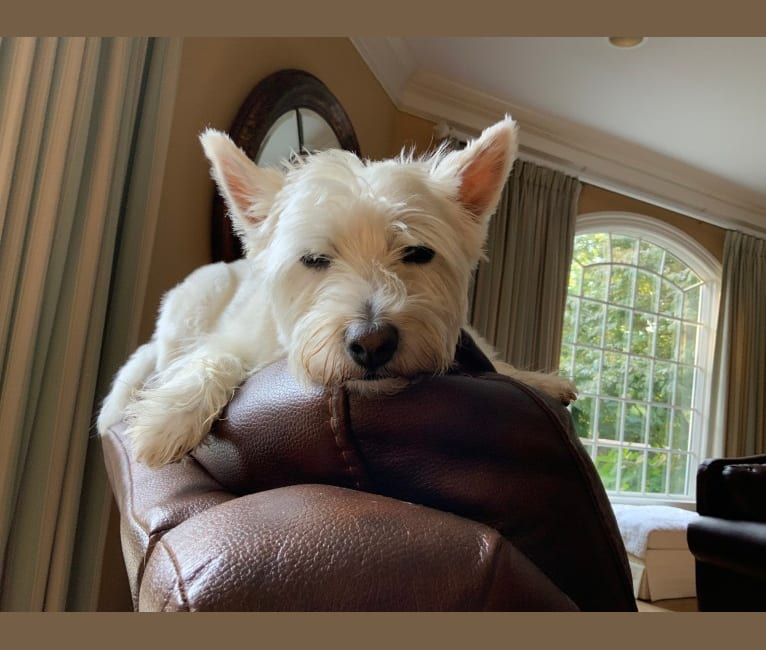 Photo of Lucy Lailer, a West Highland White Terrier  in Marshfield, MO, USA