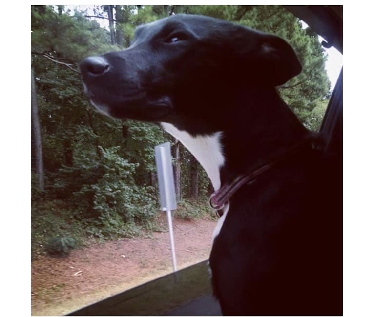 Photo of Elora, a Boston Terrier, American Pit Bull Terrier, German Shepherd Dog, Rottweiler, and Mixed mix in Georgia, USA