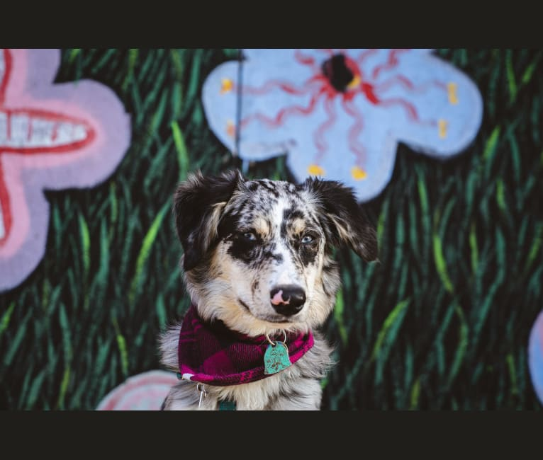 Photo of Willow, an Australian Shepherd, Miniature/MAS-type Australian Shepherd, and Border Collie mix in Pittsburgh, Pennsylvania, USA