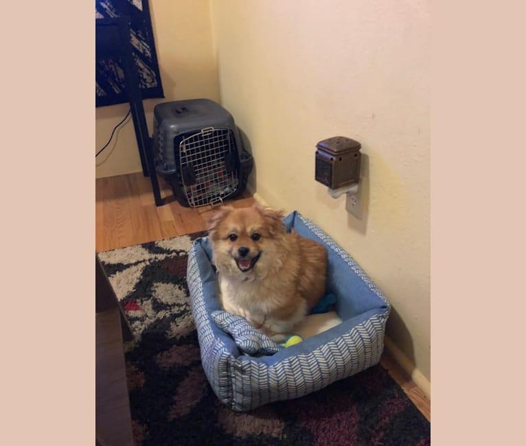 Photo of Bean, a Shih Tzu, Chihuahua, Pekingese, Miniature Pinscher, Pomeranian, Poodle (Small), and Mixed mix in Montana, USA