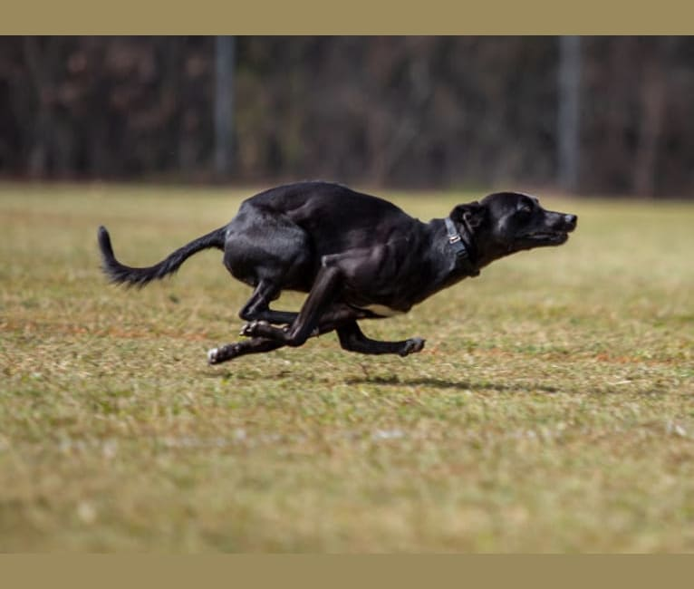Photo of Bravo, a Whippet, Staffordshire Bull Terrier, and Border Collie mix in Doswell, Virginia, USA