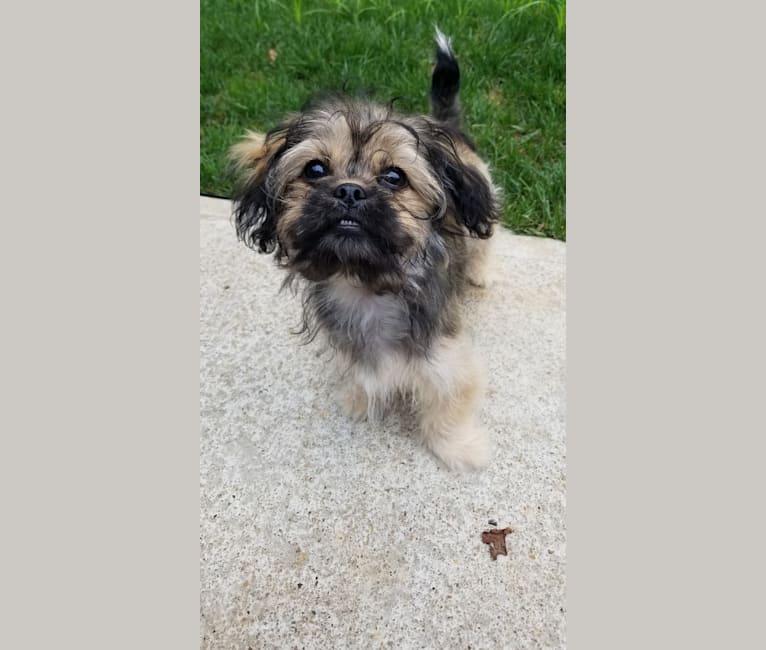 Photo of Poppy, a Peekapoo  in Nathalie, VA, USA