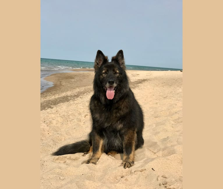 Photo of Hans, a German Shepherd Dog  in Indiana, USA