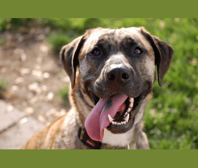 Photo of Murdock, an American Bulldog, Shetland Sheepdog, Bluetick Coonhound, Labrador Retriever, and Mixed mix in Windsor, Ontario, Canada