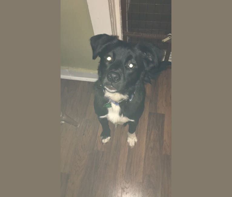 Photo of Kronos, an American Pit Bull Terrier, Rat Terrier, Pekingese, and Mixed mix in Charlotte, North Carolina, USA