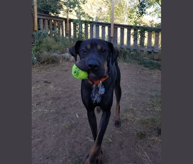 Photo of Worf, an Australian Cattle Dog, Staffordshire Terrier, Labrador Retriever, and Mixed mix in Moriarty, New Mexico, USA