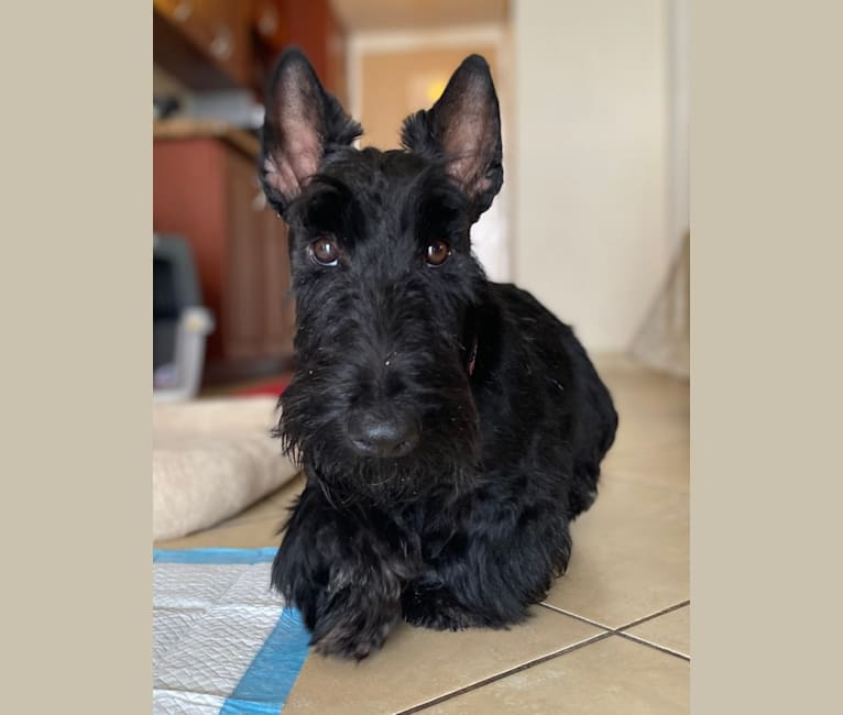 Photo of Call To Glory Dark Knight Lord Bjorn, a Scottish Terrier  in Las Grutas, Río Negro, Argentina