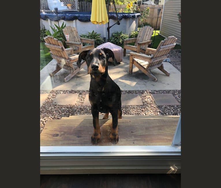Photo of Maximus, a Doberman Pinscher and Australian Cattle Dog mix in Indiana, USA