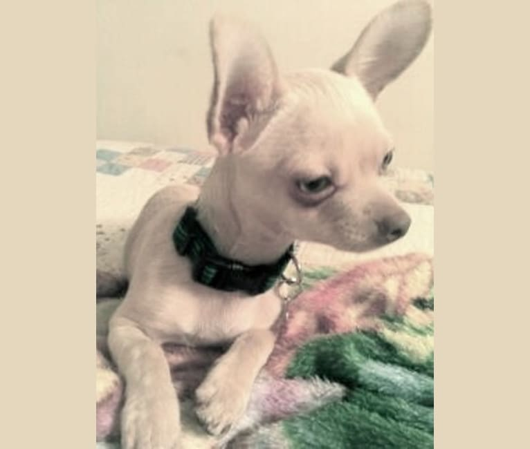 Photo of Joey, a Chihuahua, Pomeranian, and Mixed mix in Orange, California, USA