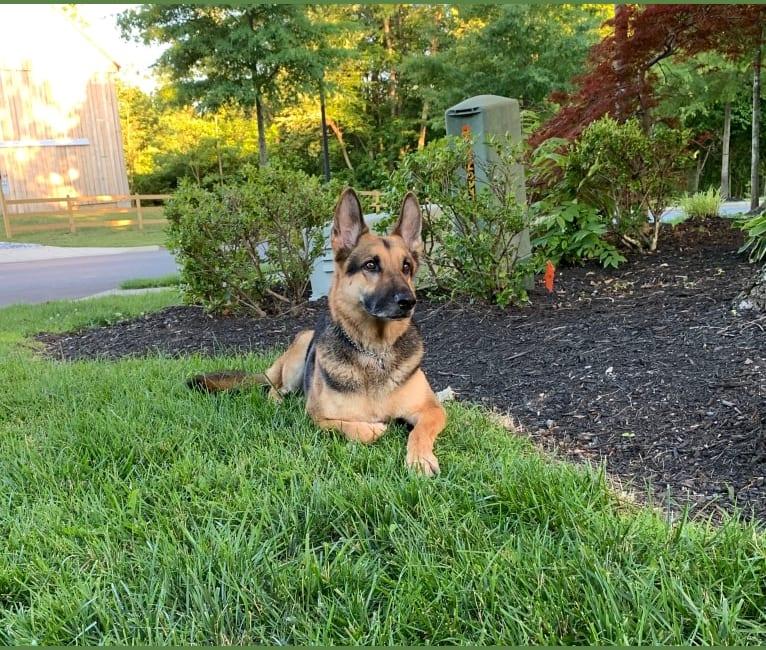 Photo of Zeus, a German Shepherd Dog  in Virginia Beach, Virginia, USA