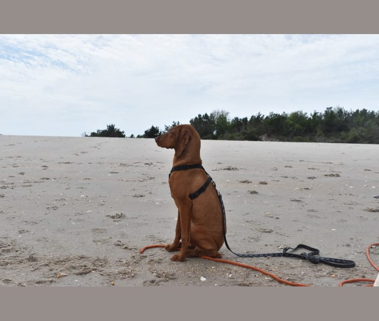 Photo of Lucy, a Vizsla  in Wilmington, North Carolina, USA