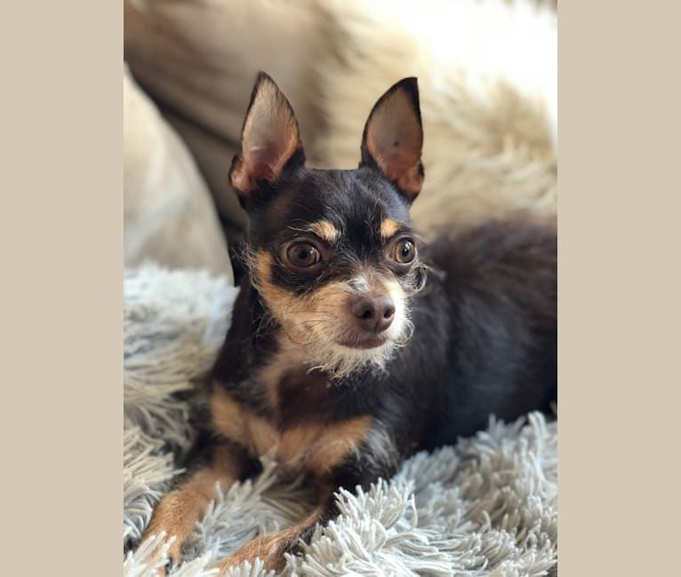 Photo of Gizmo, a Chorkie (11.8% unresolved) in San Bernardino, California, USA