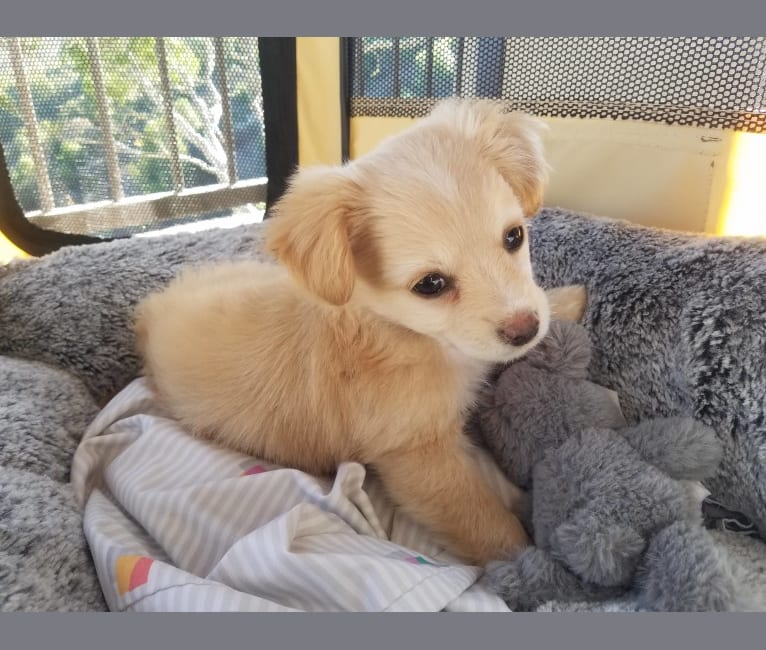 Photo of Hopper, a Chihuahua, Maltese, Pomeranian, and Mixed mix in California, USA
