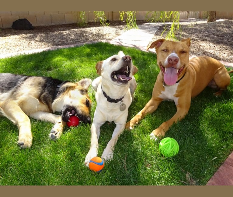 Photo of Doc, a Chihuahua, American Pit Bull Terrier, Chow Chow, and Mixed mix in Tempe, Arizona, USA
