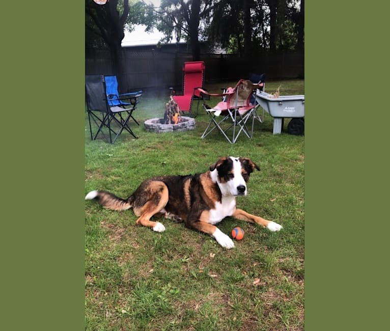 Photo of Dexter, a Bernese Mountain Dog, German Shepherd Dog, and American Staffordshire Terrier mix in Carleton Place, Ontario, Canada