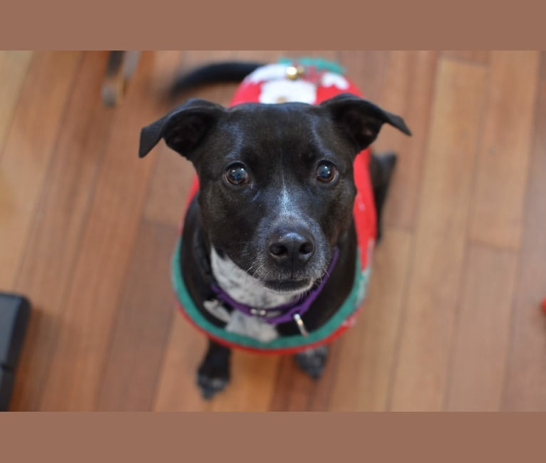 Photo of Chloe, an American Pit Bull Terrier, Australian Cattle Dog, and American Staffordshire Terrier mix in San Jose, California, USA