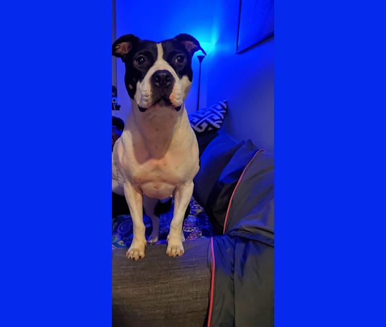 Photo of Harriet, an American Pit Bull Terrier  in Buffalo, New York, USA