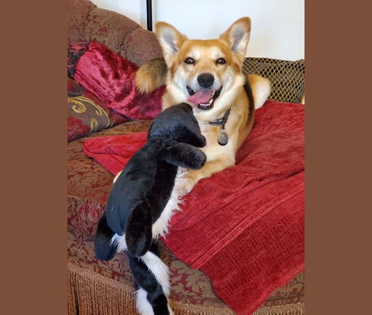 Photo of Riley, an American Eskimo Dog, Rottweiler, and Australian Cattle Dog mix in Tucson, Arizona, USA