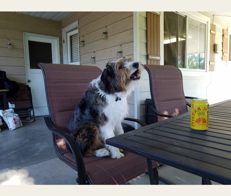 Photo of Buddy, an Australian Shepherd, Miniature/MAS-type Australian Shepherd, Australian Cattle Dog, and Border Collie mix in New Plymouth, ID, USA