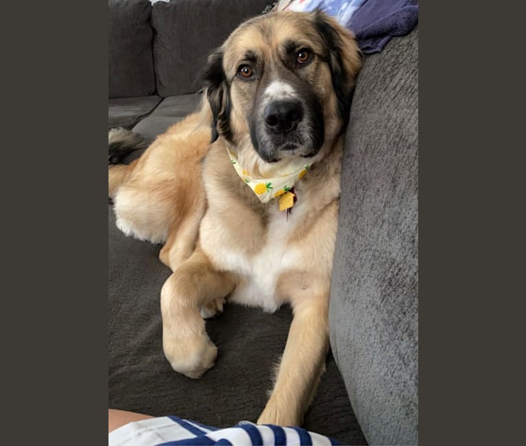Photo of Maverick, a Great Pyrenees, Anatolian Shepherd Dog, American Staffordshire Terrier, and Bluetick Coonhound mix in Boonton, New Jersey, USA